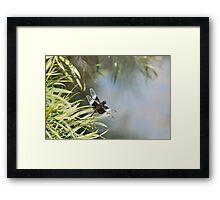 Black and Blue Widow Skimmer Framed Print