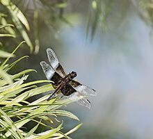 Black and Blue Widow Skimmer by Lynda   McDonald