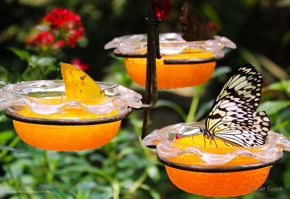 Long Island's Exhibition Center - Butterflies Feeding On Fruit At Feeding Station   Riverhead, New York by © Sophie W. Smith