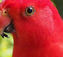 Australian King Parrot (Alisterus scapularis) Sticker