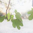 Fig by Kim Jackman