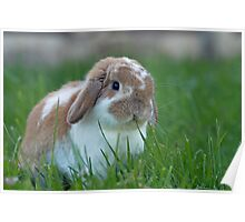 Brown and White Holland Lop Rabbit Munching on Grass Poster