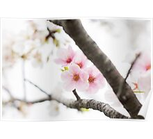 Pink Japanese Cherry Blossoms Poster