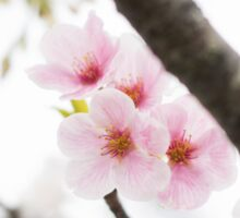Pink Japanese Cherry Blossoms Sticker