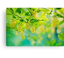 barberry, blooming shrub - soft focus Canvas Print
