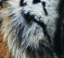 Tiger cut Sticker
