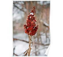 Red Sumac in the Snow Poster
