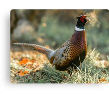 Male Ring-necked Pheasant Woodland Portrait Canvas Print
