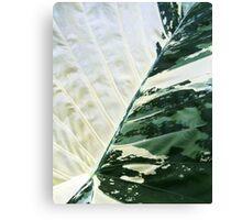 Alocasia Araceae Canvas Print