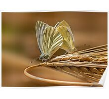 Green Veined White Butterflies Poster