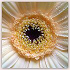 Gerbera Beauty by ©The Creative  Minds