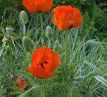 Poppies (giant poppies) by Poete100