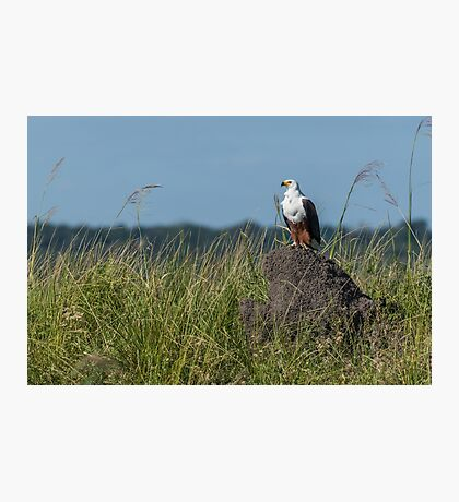 African fish eagle perched on termite mound Photographic Print