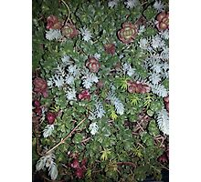 Sedum Succulents Photographic Print