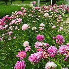 A Patch of Peonies  by lorilee