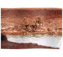 Dingo and pup at the water hole Poster