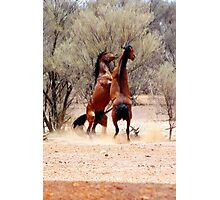 stallion fight Photographic Print