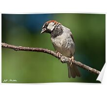 Male House Sparrow Perched in a Tree Poster