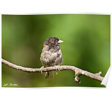 Dark Eyed Junco Poster