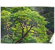 Oregon Vine Maple - Spring Leaves Poster