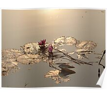 Water Lillies on Siem Reap river Poster