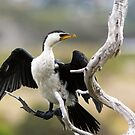 Little Pied Cormorant by mncphotography