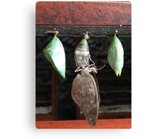 Butterfly Hatching from Cocoon | Costa Rica | Pura Vida Canvas Print