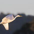 Sunlit Egret by byronbackyard