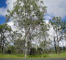 Trees at Lake Monduran by STHogan