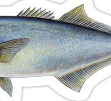 Bluefish (Pomatomus saltatrix) Sticker