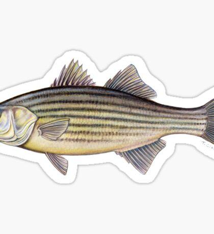 Striped Bass (Morone saxatilis) Sticker