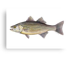 Striped Bass (Morone saxatilis) Canvas Print