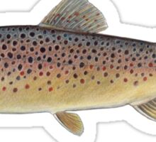 Brown Trout (Salmo trutta) Sticker