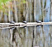 Wild Painted Turtles by Kathleen Daley