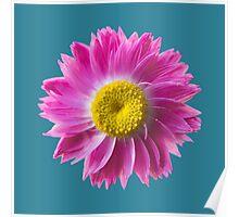Pink Everlasting Flower Poster