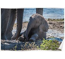Baby elephant sitting in mud beside mother Poster
