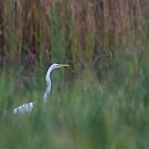 Great Egret amongst the reeds by Jim Cumming