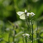 Small White In Scottish Meadow by Adrian Wale