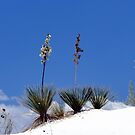 White Sands Yucca by © Loree McComb