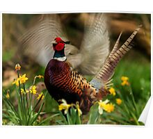 Male Ring-necked Pheasant Crowing amongst Daffodil Poster