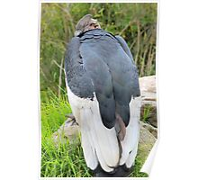 Male Andean Condor Looking Over Shoulder Poster