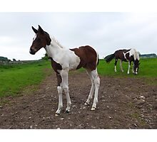 Pinto foal with grazing mare Photographic Print
