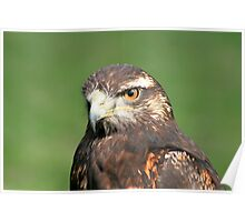 Face of a Harris Hawk Poster