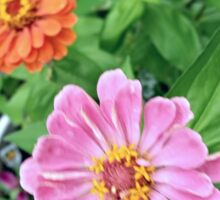Zinnias Sticker