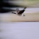 Canadian Goose by Elizabeth  Lilja