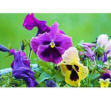 Spring Pansies in Bloom Photographic Print