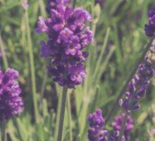 Lavender Blooming Sticker