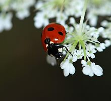 LadyBug LadyBird by Lynda   McDonald