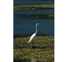 Great Heron Standing at the Edge of a Lake Photographic Print