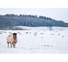 Chatsworth Sheep - Peak District Photographic Print